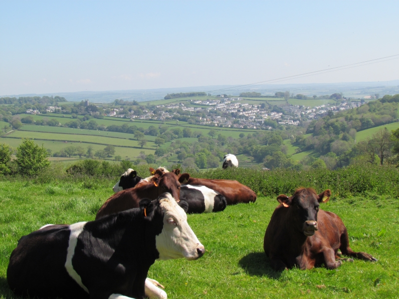 Cows at Trebursye Hill Lane